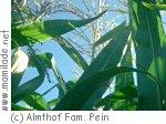Appen Maislabyrinth Almthof