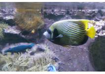 Karibischer Fisch im Aquarium