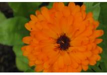 Blume in Orange