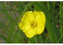 Gelbe Blume am Ufersaum des Flusses
