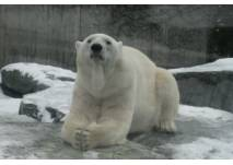 Eisbär im Schnee im Zoo