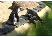 Pinguine im Zoo