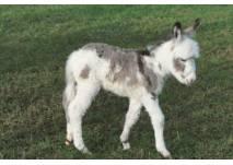 Junger Esel im Wildpark Allensbach