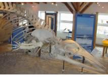 Skelett eines Zwergwals im Nationalpark-Haus Juist