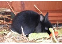 Schwarzes Kaninchen beim Fressen