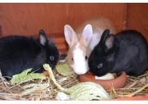 Drei Kaninchen beim Fressen