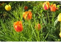 Gelbe und rote Tulpen