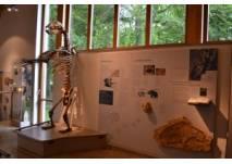 Bärenskelett Höhlenkundliches Museum Laichingen