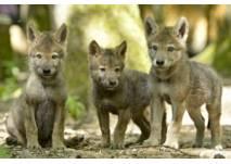 Wölfe im Wolfspark Werner Freund