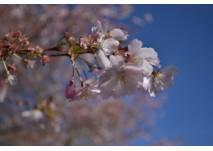 Kirschblüte im Frühling