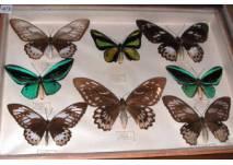 Tropische Schmetterling-Sammlung im Landschaftsmuseum Kulmbach