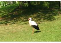 Storch auf einer Wiese