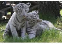 Weißer Tiger im Safaripark Stukenbrock