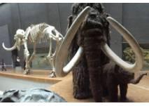 Mammut (c) SMNS, U.Stübler