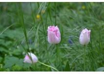 rosa Tulpen im Grünen
