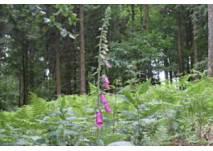 Fingerhut und Farn im Wald