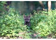 Wolfswelpe im Grünen