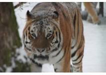 Tiger im Schnee - Zoo Braunschweig