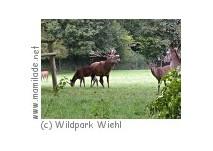 Hirschbrunft im Wildpark Wiehl