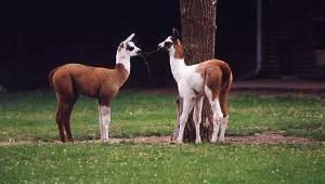 Lamas im Tierpark Dessau (c) Tierpark Dessau