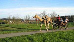 Kamel-Kutschfahrten in Ebhausen-Rotfelden