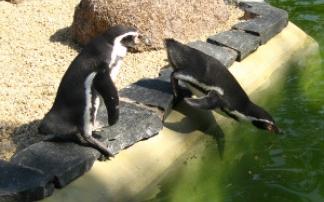 Pinguine im Zoo