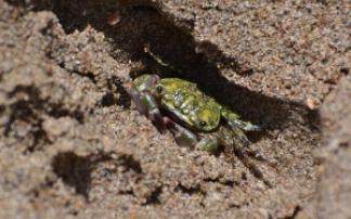 Grüne Krabbe am Strand