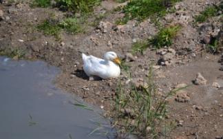 Ente im Sand am Wasser