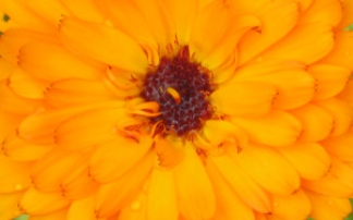 Calendula in Orange