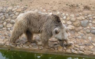 Braunbär Tierpark Göppingen (c) alex grom