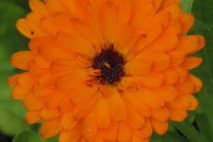 Orangefarbene Blume - Calendula