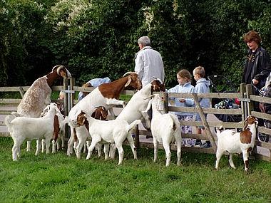 Beliebte Streichelobjekte: Die Ziegen im Bauernhof