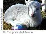 Hellabrunn Schaf