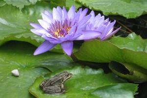 Frosch im Seerosenteich