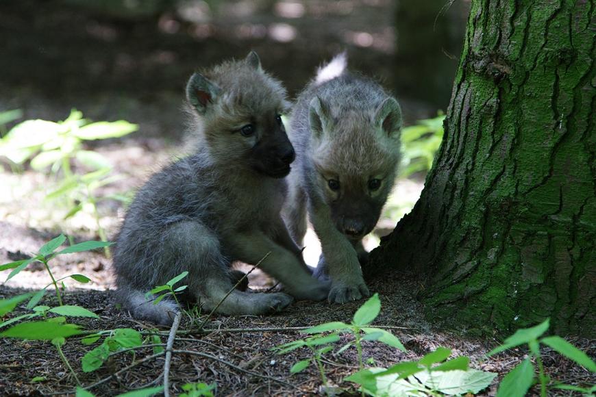 Kindergeburtstag Wolfcenter