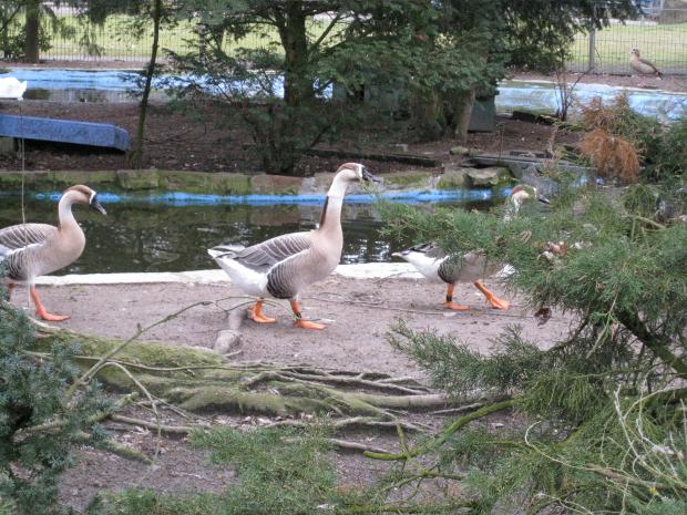 Gänse im Tierpark Walldorf