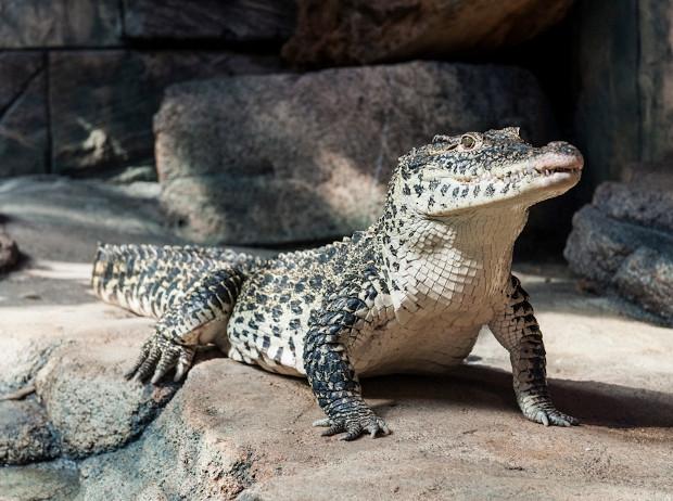 Krokodil im SEA LIFE Hannover