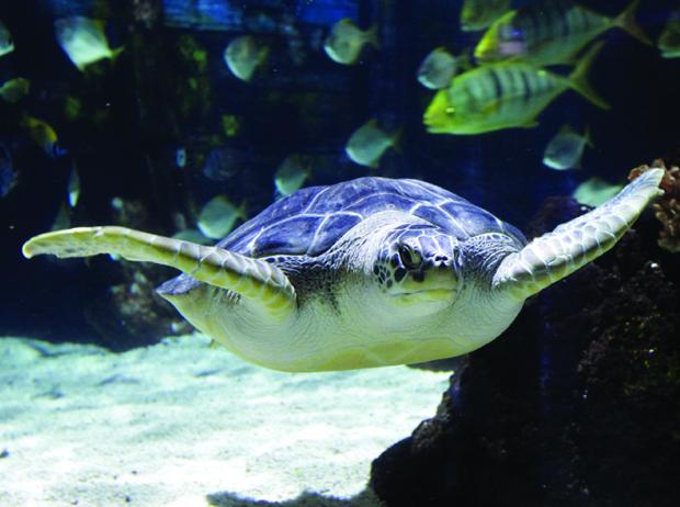 Meeresschildkröte im SEA LIFE Hannover
