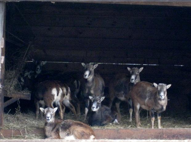 Sika im Tierpark Walldorf