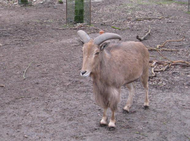 Steinbock im Tierpark Walldorf