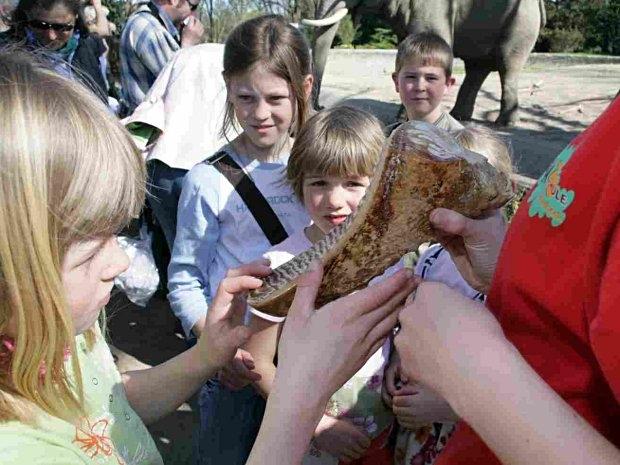 Elefantenzahn beim Kindergeburtstag im Tierpark Hagenbeck in Hamburg