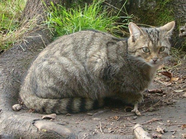 Katzenbeobachtungen (c) Wildfreigehege Wildenburg Kempfeld