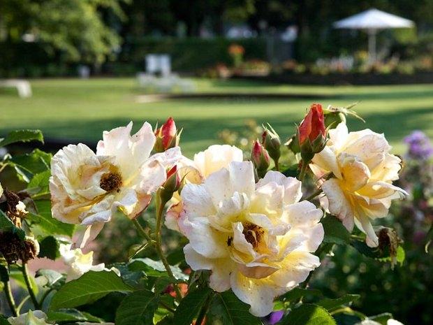 Rosen im Park (c) Kultur- und Verkehrsamt Zweibrücken