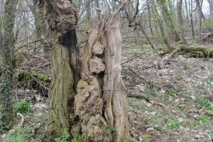 knorriger Baum, © Antje Griehl