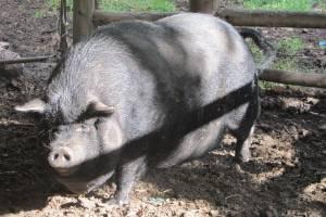 Vietnamesisches Hängebauchschwein © Antje Griehl