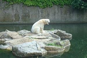 Eisbär im Zoo Berlin © Antje Griehl