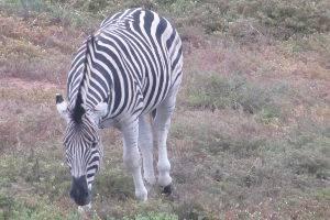 Zebra © Antje Griehl