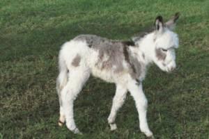 Junger Esel (c) Wild- und Freizeitpark Allensbach