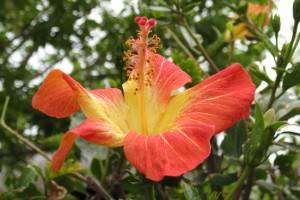Hibiscusblüte (c) alex grom
