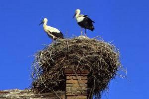 Stoerche auf dem Nest in Linum, ©TMB-Fotoarchiv/Boettcher